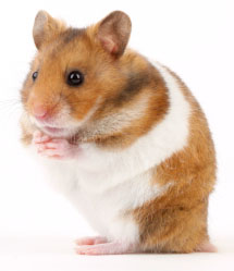 source-of-hcg-hamster-gmo