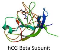 hcg beta subunit